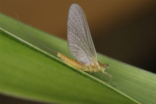 Sulphur Mayfly Adult