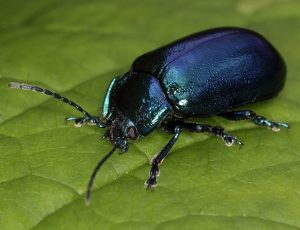 Common Black Beetle
