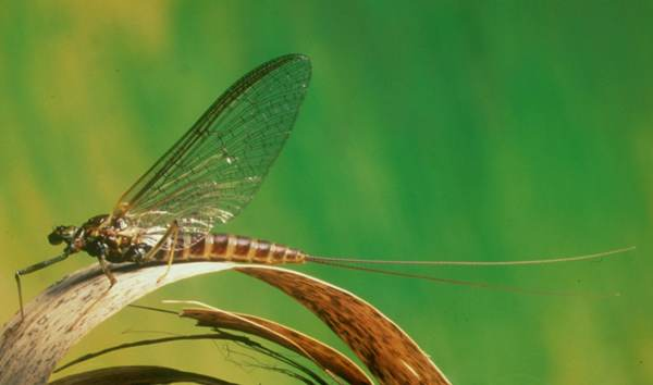 Adult March Brown Mayfly