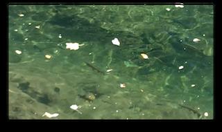 Trout Feeding in Slow Water
