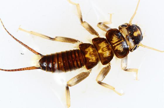 Golden Stonefly Nymph