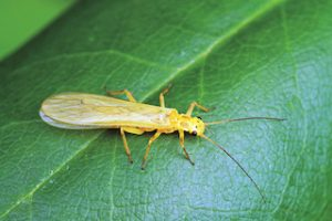 Little Yellow Sally Stonefly Adult