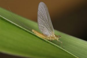 Sulfur Mayfly Adult